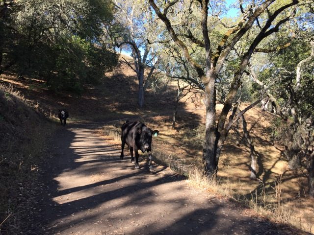 More cows on the trail.