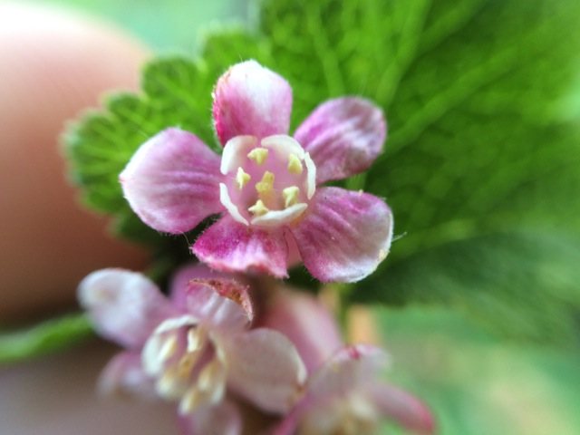 Chaparral currant (Ribes malvaceum)