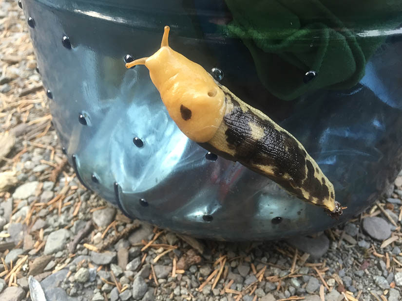 Banana slug: foiled by bear can.